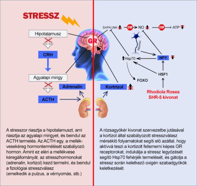 7 Adaptogén gyógynövény a kortizol csökkentésére stressz