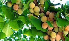 Ginkgo Biloba agyfrissítő vitamin, vérkeringés javító gyógynövény